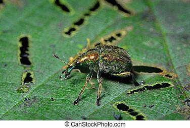 escarabajo, Gorgojo