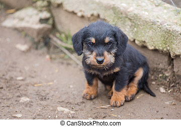 Small dachshund closeup - Closeup of baby Dachshund with...