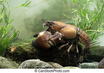 Signal crayfish, Pacifastacus leniusculus, Midlands, October...