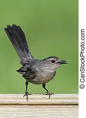 Gray Catbird (Dumetella carolinensis) on a fence with a...