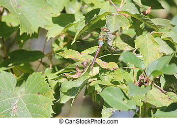 Dragonfly, Common Green Darner (Ana - Common Green Darner...