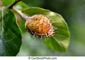 Close-up of an acorn - Close-up of an acorn on a branch of a...