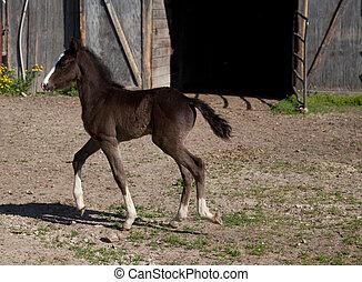 Black Foal - A black foal walking in front of a barn door.