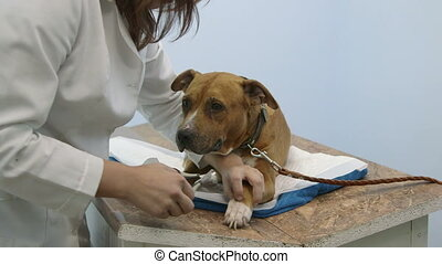 terrier nail trimming - American staffordshire terrier nail...