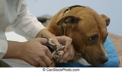 Female Hands Cutting Dog Nails - Female hands cutting nails...
