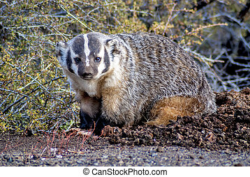 Badger sits in the morning sun - Small anomal Badger looking...