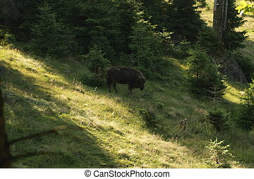 wisent - European bison in the bavarian forest