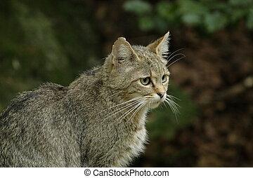wildcat - portrait of an european wildcat