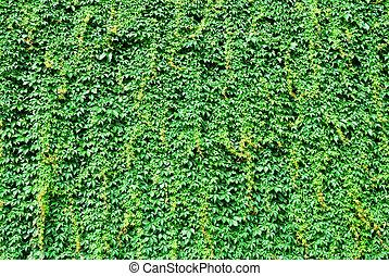 grand, mur, couvert, vert, lierre, feuilles
