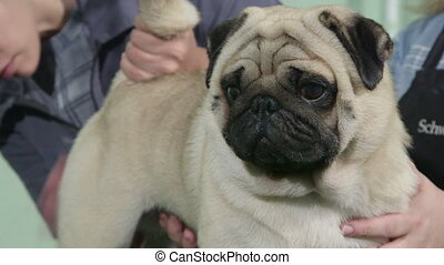Pug Dog Grooming at Pet Salon - Professional dog groomer...