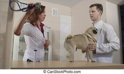 Vet Examining Pug Dog at Animal Clinic