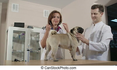 Funny Pug Dog at Animal Clinic - Smiling veterinarians with...