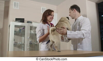 Pug Dog Checkup at Vet Clinic - Friendly veterinarians...