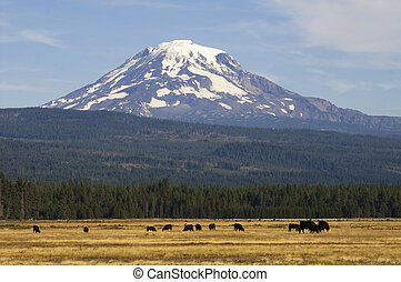 Grazing Cattle Ranch Countryside Mount Adams Mountain...