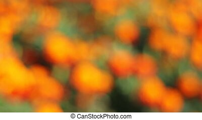 Out of Focus Bokeh of Golden Bushy Clusters of Blooming...