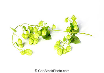 Humulus lupulus - climbing plant Humulus as element of the...