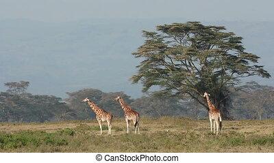 Rothschilds giraffe - Rare Rothschilds giraffe Giraffa...