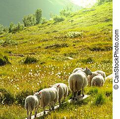 Sheep in Norway - Sheeps  in Norway