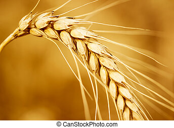 Wheat ear - Wheat field
