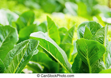 Hydroponics vegetable background