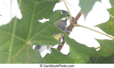 bird titmouse on tree - titmouse on a maple branch close up