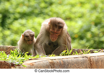 mother rhesus monkey giving lessonsteaching to her child...