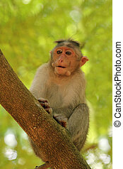 indian rhesus monkey(macaque) also called Macaca mulatta on a tree in a forest in south peninsular india