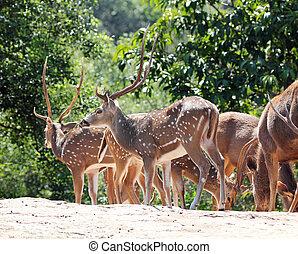 Axis deer(spotted deer) & sambar deer(Philippine deer) in a...
