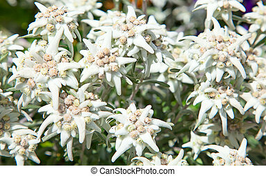 Edelweiss - Famous flower Edelweiss (Leontopodium alpinum),...