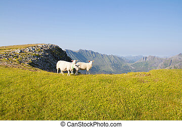 Sheep in the mountains - A scenic photo of flock of sheep on...