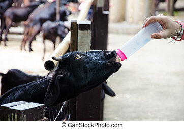 black goat feeding