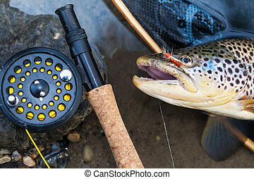 Brown trout - A fly fisherman's freshly caught brown trout,...