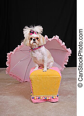 Shih Tzu Dog with a short summer haircut and bows in her...