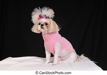 Shih Tzu Dog wearing a pink sweater and bows in her...