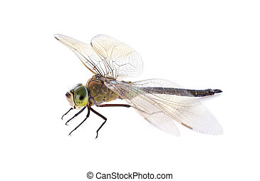hawker dragonfly in front of white background