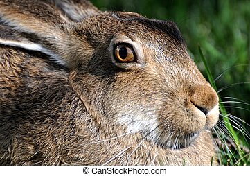 Close up of Rabbit - A close-up of a jackrabbit, getting a...