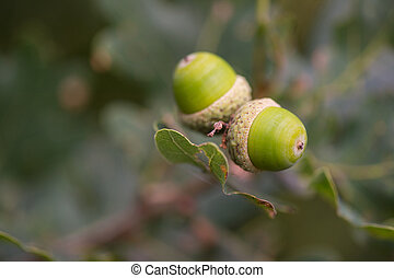 Acorns in tree - Acorns in nature tree