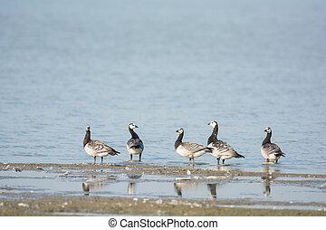 Barnacle Gooses in water