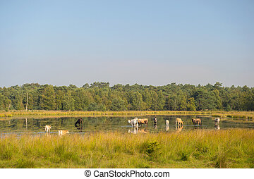 Nature landscape with cows in water - Piedmontese cattle...