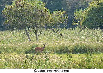 Female deer in nature landscape