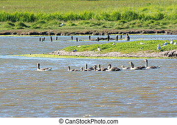 Greylag Gooses with many goslings in lake De Petten at Dutch...