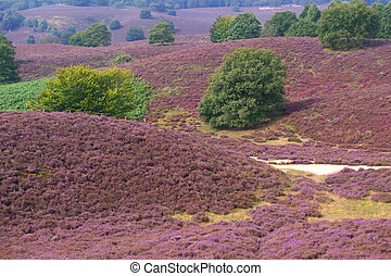 Heather landscape with sand path