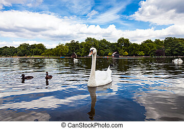 Swan in Hyde Park with its reflection in the water