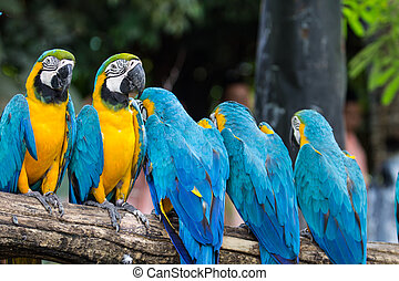 Blue-and-Yellow Macaw - Blue-and-yellow macaw[Ara ararauna]...