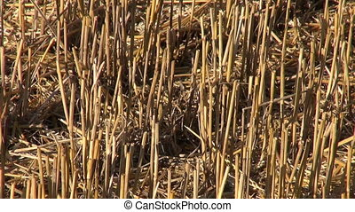 straw on wheat farm field after combine harvesting