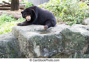 Malayan sun bear, Honey bear - Honey bear on Rock