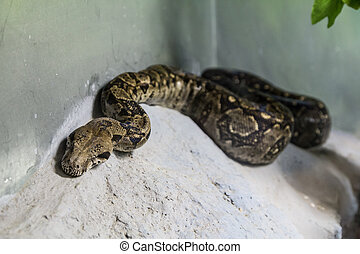 Boa Constrictor on concrete
