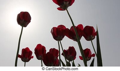 red tulips in field - medium shot.