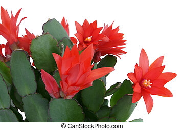Christmas cactus. Schlumbergera. - Christmas cactus isolated...