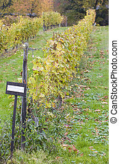 vineyard, Eberbach, Hessen, Germany